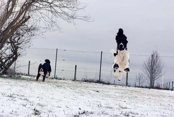 Monty Spaniel in the Air
